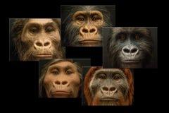 Collage 5 cinq visages de théorie d'évolution image stock