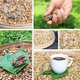 Collage coffee luwak coffee beans Stock Photos