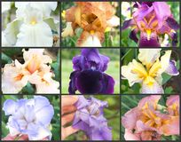 Collage of colored irises on the grey background royalty free stock photos