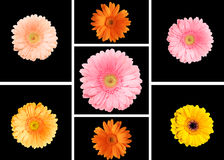 Collage of colorful gerberas. On a black background royalty free stock photo