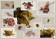 Collage of colorful seaweed kelp washed up on Hutt's Beach Western Australia. Royalty Free Stock Photography