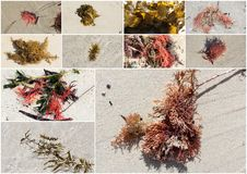Collage of colorful seaweed kelp washed up on Hutt's Beach Western Australia. Royalty Free Stock Images
