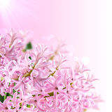 Collage of colors pink hyacinth Stock Image