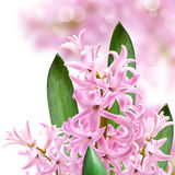 Collage of colors pink hyacinth Royalty Free Stock Photos