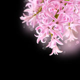 Collage of colors pink hyacinth Royalty Free Stock Photography