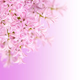 Collage of colors pink hyacinth Stock Photos