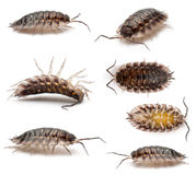 Collage of Common woodlouse, Oniscus asellus Stock Photography