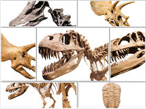 Collage composition of dinosaurs skeletons on white isolated background. Stock Images