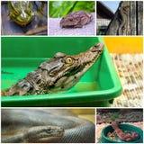 Collage con i rettili e gli anfibi Fotografia Stock