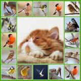 Collage con il gattino e gli uccelli persiani Immagine Stock Libera da Diritti