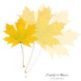 Collage con las hojas amarillas del acer Fotografía de archivo