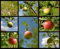 Collage con las manzanas fotos de archivo