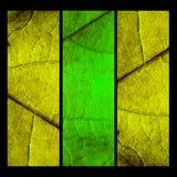 Collage con tres hojas del mapple Imagen de archivo libre de regalías