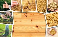 Collage crescente della foto del fagiolo della soia Immagine Stock Libera da Diritti