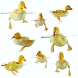 Collage of cute ducklings floating in water Royalty Free Stock Photos