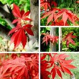 Collage d'érable rouge Photo stock