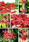 Collage d'érable rouge Images stock