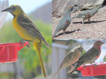 Collage d'oiseau trois photos Photo stock