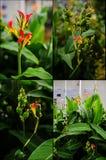 Collage d'usine indica de Canna : fleurs, cosses de graine, feuilles Images libres de droits