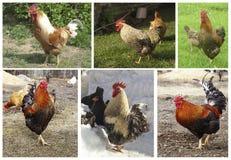 Collage da fotografia con il gallo fotografie stock
