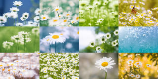 Collage of daisies. Summer bright colorful collage of flowers. royalty free stock image