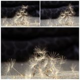 Collage with dandelion seeds Stock Photos