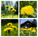 Collage of dandelions on green grass. Summer set. stock photography
