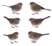 Collage of Dark-eyed Juncos Royalty Free Stock Images