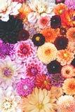 Collage de dahlia photos libres de droits