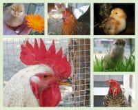 Collage de diversos polluelos y pollos Imágenes de archivo libres de regalías