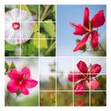 Collage de fleur de Hisbiscus Photos stock