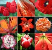 Collage de flores rojas Foto de archivo libre de regalías
