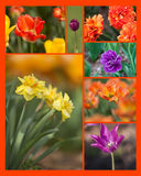 Collage de jonquille et de tulipe Photo libre de droits