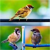 Collage de la acción tres del gorrión de árbol eurasiático, pájaro, pájaro cantante Fotografía de archivo
