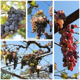 Collage de la cosecha de las uvas Fotografía de archivo