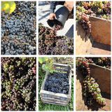 Collage de la cosecha de las uvas Foto de archivo libre de regalías