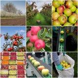 Collage de la cosecha de manzanas foto de archivo libre de regalías