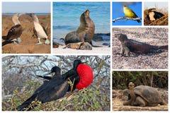 Collage de la fauna de las Islas Galápagos fotografía de archivo libre de regalías