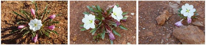 Collage de la flor de la onagra del desierto imágenes de archivo libres de regalías