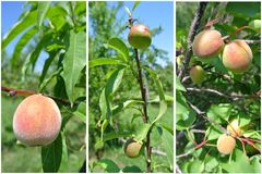 Collage de la fruta - nectarinas, melocotones y albaricoques verdes inmaduros en árboles en la huerta fotografía de archivo libre de regalías