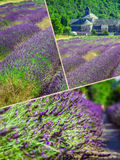 Collage de la lavanda delante del abbaye de Senanque en Provence Imágenes de archivo libres de regalías