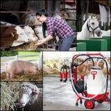 Collage de la multiplication d'animaux de ferme Photos stock