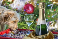 Collage de la Navidad de un año del perro amarillo, de un perro, de un vidrio y del champán Imagen de archivo libre de regalías