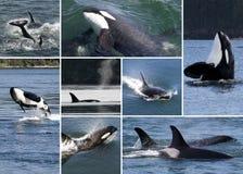 Collage de la orca Fotografía de archivo
