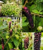 Collage de la planta americana del pokeweed en diferente imagen de archivo libre de regalías