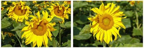 Collage de la planta de los flores de la flora del girasol Imagen de archivo