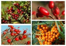 Collage de las frutas del bosque del otoño Fotos de archivo