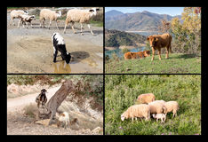 Collage de los animales del campo Imágenes de archivo libres de regalías