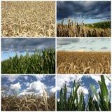 Collage de los detalles del cultivo en campo del trigo y de maíz Foto de archivo libre de regalías
