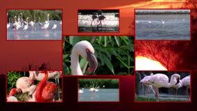 Collage de los flamencos almacen de metraje de vídeo